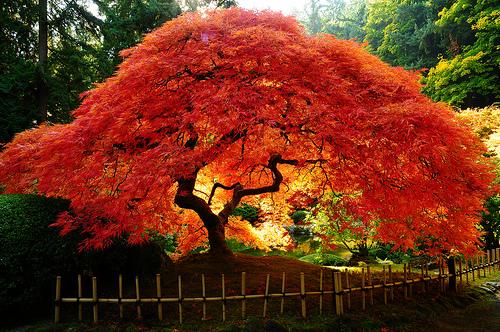 glowing-maple